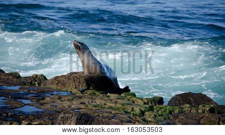 California Sea Lion Running Away From Surf
