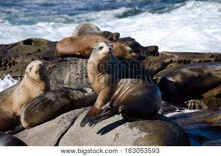 Curious California Sea Lions Near La Jolla Cove