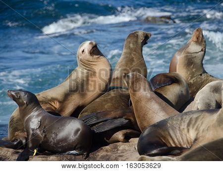 Crowded Gathering Of California Sea Lions