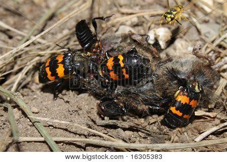 Burying Beetles (Nicrophorus orbicollis)