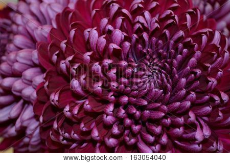 Closeup beautiful purple chrysanthemum flower for background and textrue