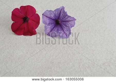 Two petunias isolated against a white background