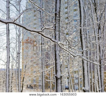 Branches and trunks of deciduous trees covered with snow against the modern multi story apartment buildings