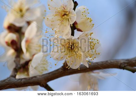 Macro background of Japanese white plum blossoms