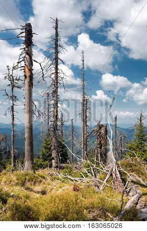 Ill trees in forest at Great fatra mountains Slovakia