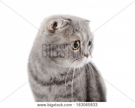 The muzzle of a beautiful gray cat breed Scottish Fold looking to the side. Professional studio shot on a white background.