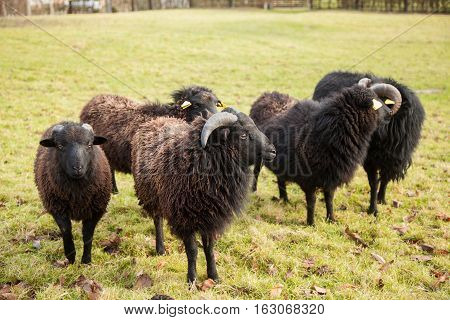 A black ram, and herd of sheep near the city Livaro in Normandy, France