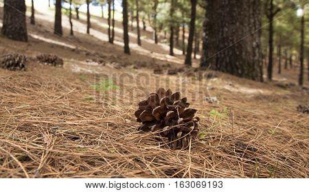 Canarian Pine, Pinus Canariensis