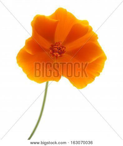 Bright Californian Poppy Isolated