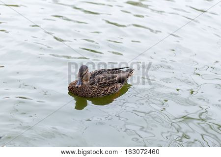 lonely gray duck on the water in the autumn park closeup