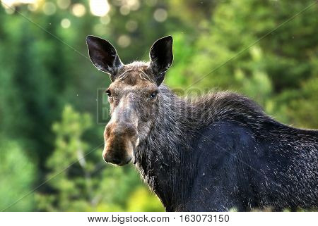 A wildlife capture of a North American moose standing in the forest. Dec 2016
