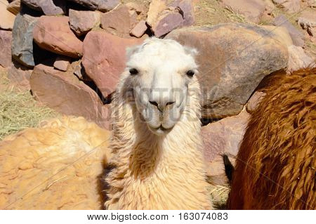 Close-up of a llama in Humahuaca in Argentina South America