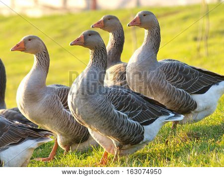 Domestic geese graze on goose farm. Selective focus