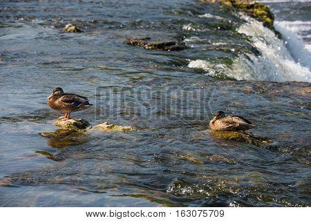 Wild mallard ducks in the river near the waterfall