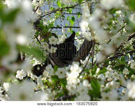 Nagoya, Japan - April 6, 2015: Black Cat And Cherry Blossom Petals On The Ground