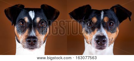 Male and female andalusian ratdog in studio