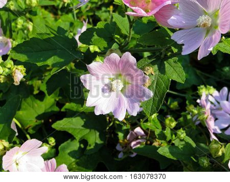 Wild mallow flowers growing on the meadow