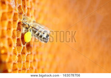 Macro photo of bee pollen. Apiculture. Apitherapy