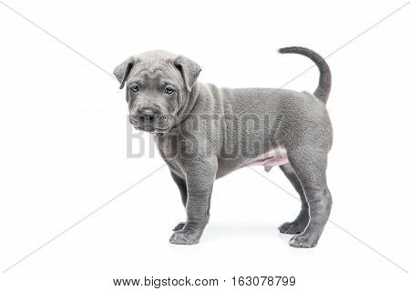 One month old thai ridgeback puppy dog in brown collar standing. Isolated on white. Copy space.