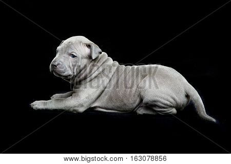 One month old thai ridgeback puppy dog lying over black background. Copy space.