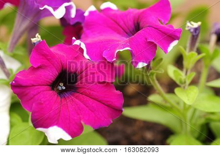 A violet and white petunia in a garden