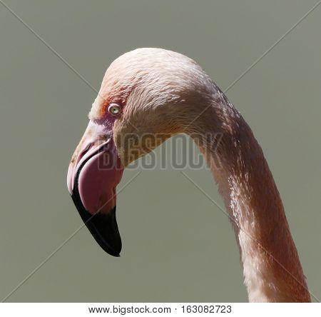 close up of flamingo bird against blury background