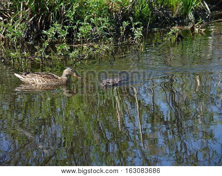 Cute wild furry coypu with duck on lake