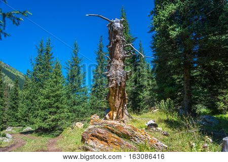 Old Rotten Trunk And The Green Of The Tien-shan Fir.
