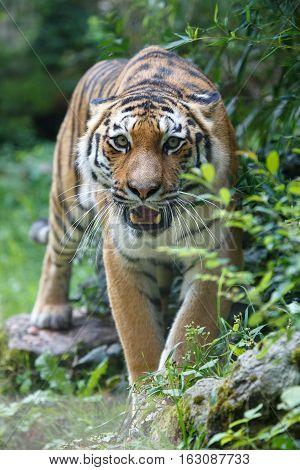 Siberian Tiger Pointing At The Camera