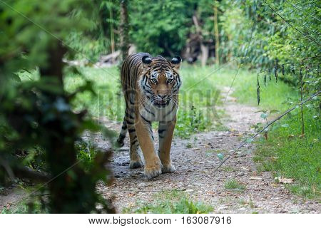 Amur Tiger Moving Along A Path In The Forest