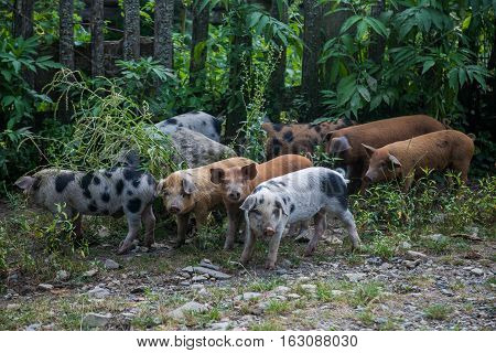 Small piglets in the courtyard of the Russian village