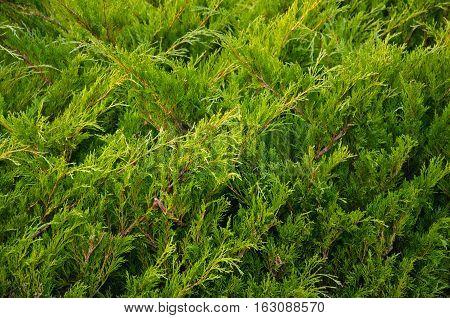 Green juniper bushes in the city park