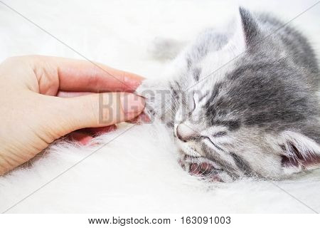 Baby striped kitten asleep stroking the hand of man