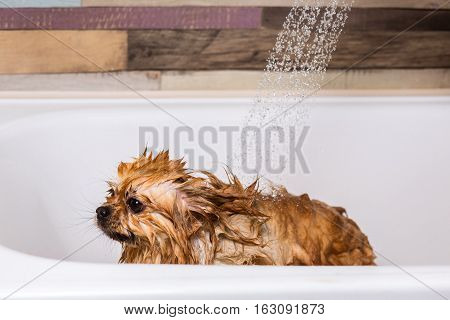 Cute pomeranian dog taking a shower. Dog Bathing after grooming