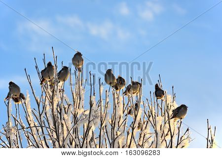 Flock of the bohemian waxwing (Bombycilla garrulus) birds sitting on frozen tree branches against sunrise sky on winter day