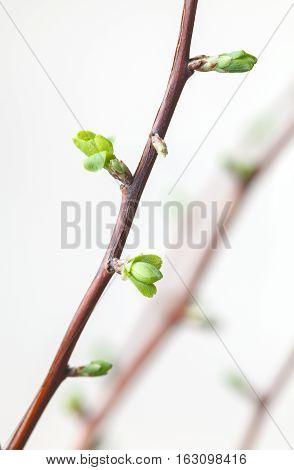 Buds Burst