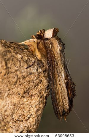The mullein moth (Cucullia verbasci) profile. A moth in the family Noctuidae at rest on limestone showing venation of wings