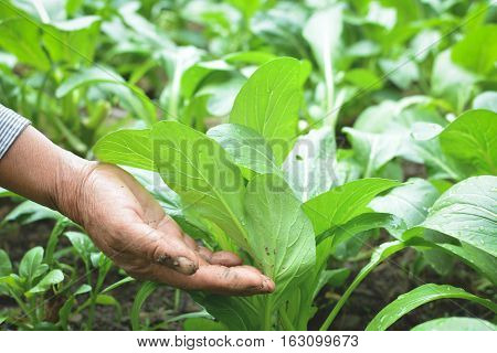 Old hand holding fresh green lettuce cantonese in farm background