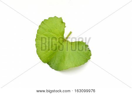 Green asiatic leaf herb with shadow on white background