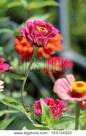 zinnia flowers with variegated colors blooming in the garden