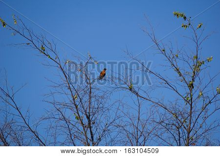 An American robin (Turdus migratorius) perches on a treetop in Joliet, Illinois during June