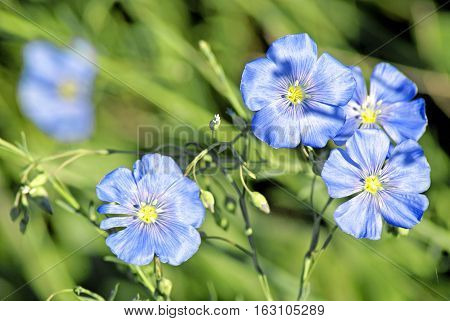 Linum (Linum austriacum). Beautiful spring flowers on green grass