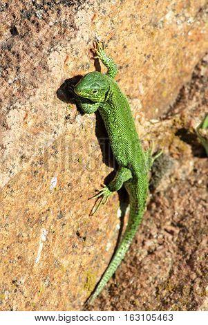 Portrait of green lizard on rock background