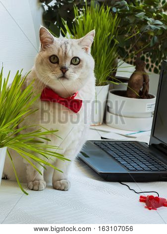 Big intelligent cat in the red bow tie sitting near with the laptop and attentively looking at us