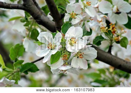 Branch of blossoming plum. Flowering white tree. Romantic Spring Photo