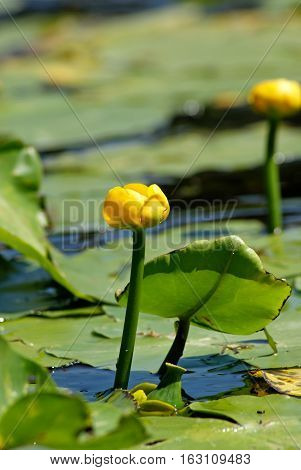 Nuphar lutea. Flowering Water lily yellow on the river Dnieper.