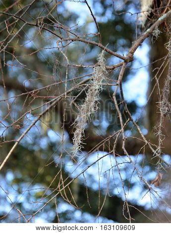 Spanish moss winter tree Tillandsia usneoides southern lie oak