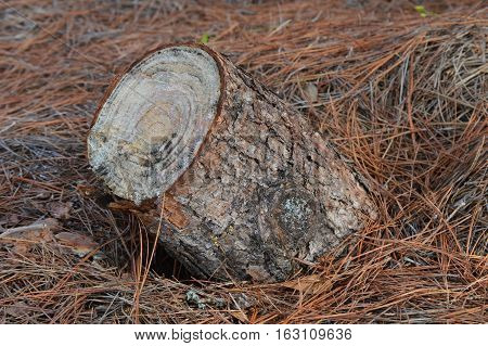 tree stump age rings mama humps cutting