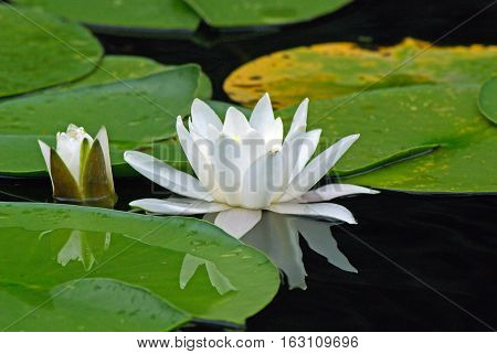 European white waterlily. (Nymphaea alba). Flowering Water lily on the river Dnieper.