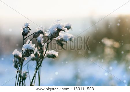 Frozen thistle covered with snow backlit sun.